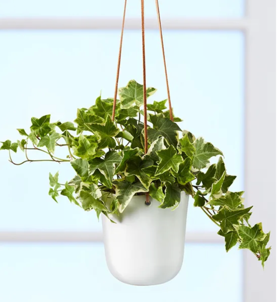 English Ivy hanging in a pot