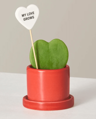 succulent as Valentine's Day Gift