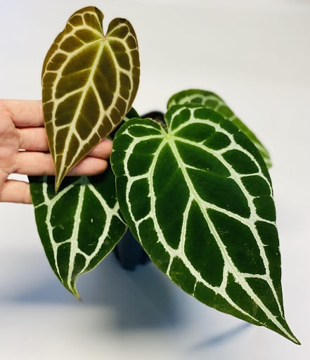 most expensive house plants
