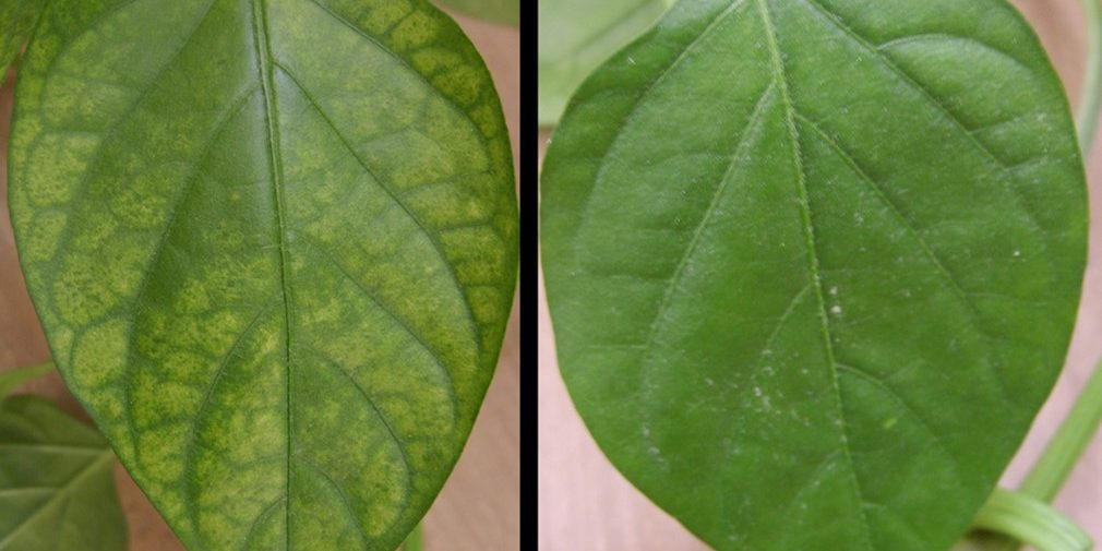 A plant experiencing chlorosis