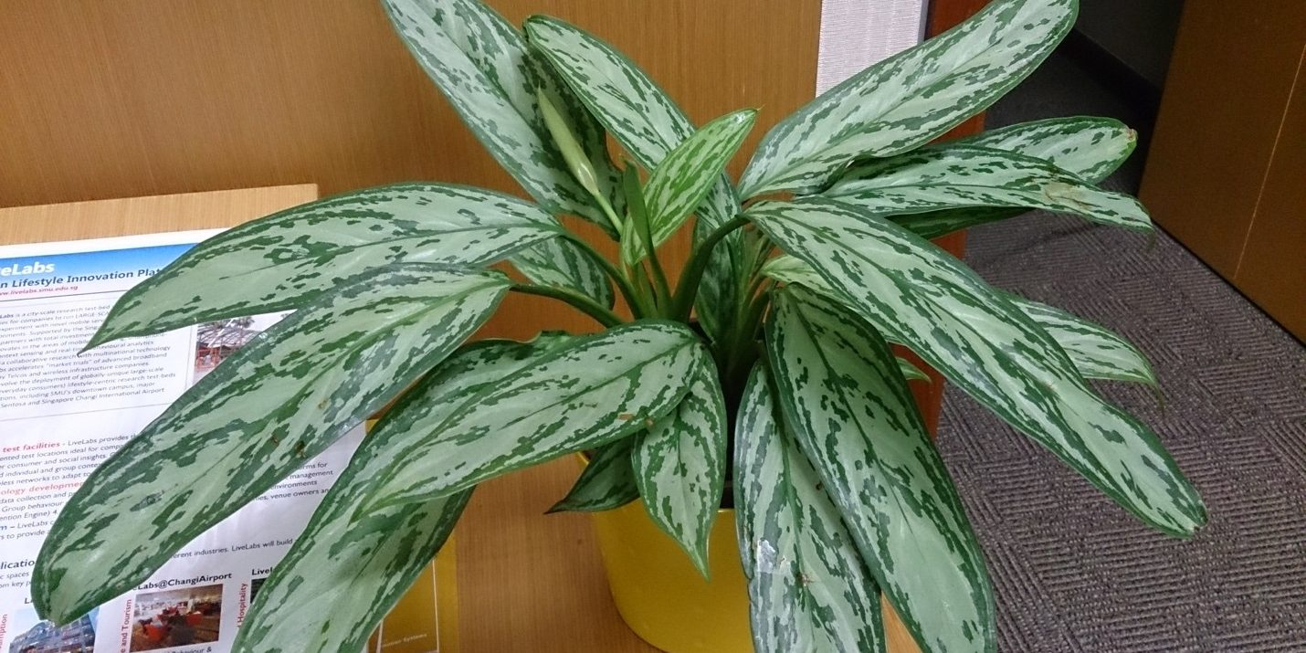 Chinese evergreen plants have variegated leaves to add some contrast