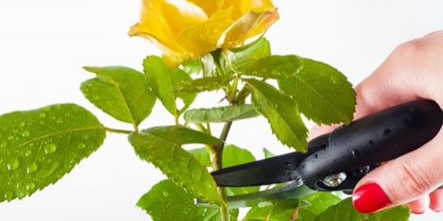 Pruning a plant with shears